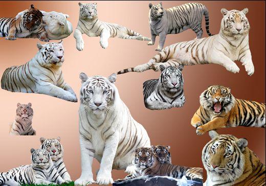 Клипарт 12  Тигров