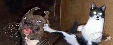 chat qui m'arrave un pit bull