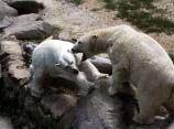В Берлинском зоопарке женщина прыгнула в клетку с белыми медведями