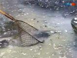 Немецкие фермеры, протестуя, утопили в молоке 1,5 тонн рыбы