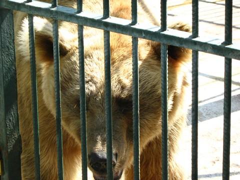 sirijski medvjed